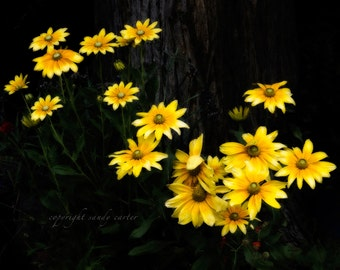 Yellow Daisies - A Fine Art Photograph