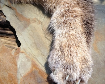 Bobcat Fur Foot Bib Necklace - Bobcat Claws - Professionally Tanned - Witchcraft - Psychic Awareness - Pagan - Barbarian - Tribal Necklace
