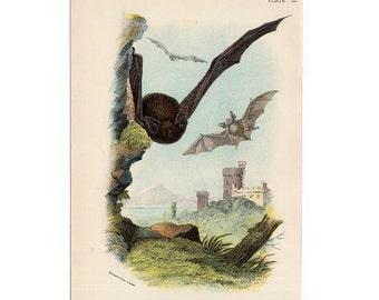 1896 ANTIQUE BAT LITHOGRAPH - original antique colour lithograph of common bats