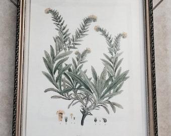 Vintage Greek Flower Study Framed Print: Lithospermum Orientale
