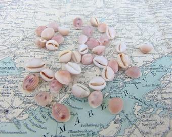 Irish Sea Shells Cowrie Seashells Beach Shells from Ireland Shells Craft Shells Shells for Crafts or Jewellery Jewelry Making