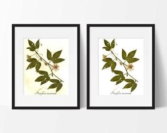 Passionflower Botanical Print - Herbarium Art