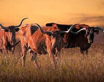 Texas Longhorn, Steers, Western Photograph, with a Yellow Sky at Sunset, Fine Art, Cattle, Animal Photography