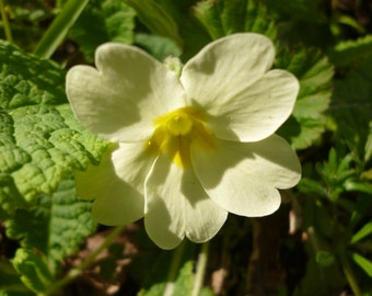 Learn Herbs!  Wild Medicine April DIGITAL download by professional herbalist
