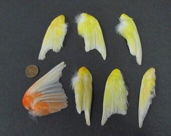 7 Single Canary Dried Bird Wings Taxidermy