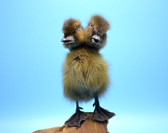 taxidermy of 2 headed black duckling free shipping to everywhere,Birthday Gift,Christmas Gift