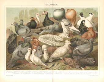 1894 Fancy Pigeons, Rock Dove, Trumpeter, Frillback, Nun, Thumbler, Jacobin, Fantail, Pouter, Carrier, Runt, Antwerp Antique Lithograph