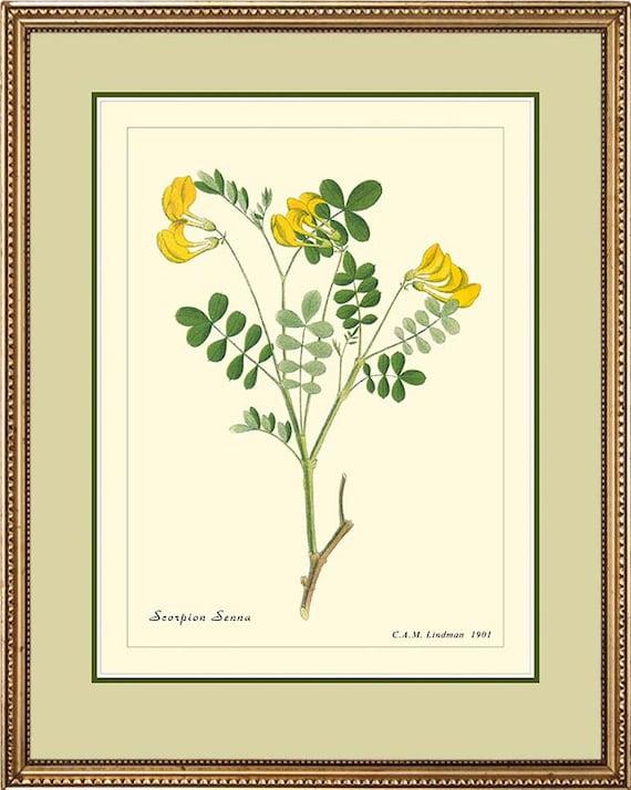 SCORPION SENNA - Vintage Botanical print reproduction - 323