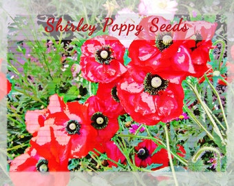 Shirley Poppy Flower Seeds