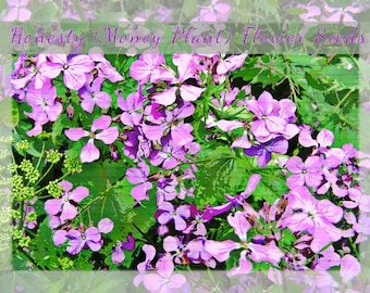 Honesty (lunaria) Money Plant  Flower Seeds