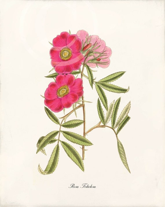 Antique Rose Art Print - Wall Art - Art Print - Home Decor - Rosa 1