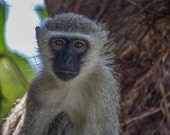 """Africa Photography, """"Look at Me"""", Travel Photography, Kruger, Customizable Sizes Upon Request"""
