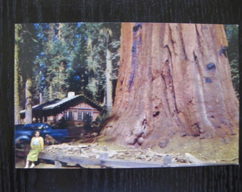 Redwoods, Sequoia National Park, California, Room Tree, Giant Forest