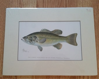 Denton Fish Print, Matted, The Large Mouthed Black Bass, 16 x 12 inch, ca 1900
