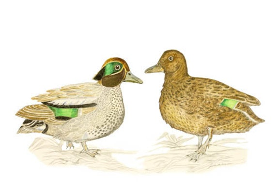 Common Teals, Anas crecca, LIMITED EDITION with Certificate of Authenticity, Bird Art, Art Print, Teal Ducks, Small Duck, Cute Duck Print