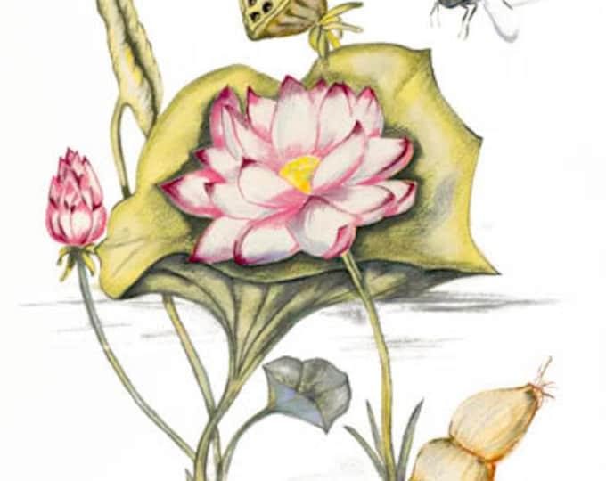 LIMITED EDITION (10) Lotus Plant (all parts), Lotus, Nelumbo nucifera, Nymphaea Nelumbo, Buddha Symbol, Roots, Lotus Pond.