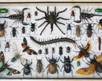 REAL Multiple INSECTS BEETLES Spider Centipede Scorpion Taxidermy Collection in wooden box/big size/is07y