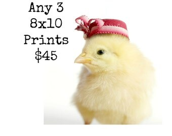 Chicks in Hats Chicken Photo Photograph Baby Animal Prints Any Three 8x10