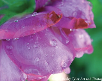 Dew on Pink Rose Petals Fine Art  Photo Print