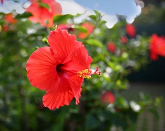 Hawaii, Kauai, Hibiscus flower, blossom, close up, paradise, red, lush, beach, zen, hike, rain, color fine art photograph picture print