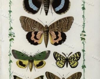 1852 Antique colored  Lithograph loaded with Butterflies And Moths  Original Chromplithograph -papillon- Decorative art- wall art- art decor