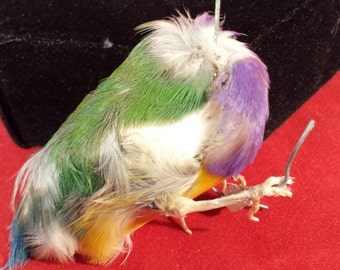 Taxidermy Finch bird  Body #9-Gouldian Finch-very colorful-fly tying feathers, crafts, jewelry making