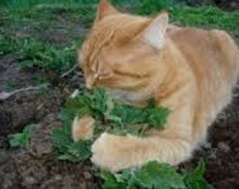 CATNIP GRASS SEEDS 20 Fresh seeds ready to plant in your garden or pots