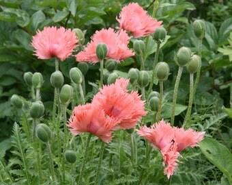 Fluffy Ruffles Poppy flower 40 +seeds