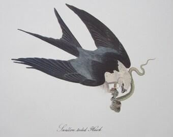 "John James Audubon Bird Print "" Birds of America "" Royal Octavo Edition Book Plate ""Swallow-tailed Hawk"" - Suitable for framing"