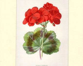 "Scarlet Geranium Vintage Botanical Print Familiar Garden Flowers Vintage Art  c.1887 Matted 8 X 10""  Antique Botanical Print"