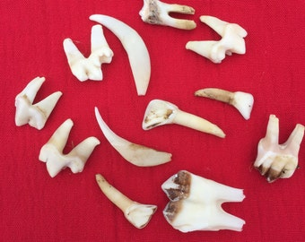An interesting collection of English wild deer and fox teeth.