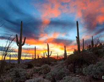 Saguaro Cactus in the Sonoran Desert at Sunset Photograph - Tucson, Arizona