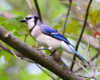Blue Jay, Bird, Blue Blue Bird, Home Decor, Wall Art,
