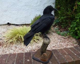 A carrion crow mounted on a piece of treated driftwood.
