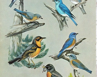 "50% Off Estate Sale Vintage Bird Art, Bluebird, Robin, Thrush, 2 Sided Print Picture, Item 2225, 1960s Crosby Illustrations, 8.5"" x 11"""