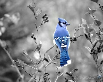 Bird Photography- Blue Jay decor, Blue Decor - Fine Art Photo, Nature Picture, Selective color -006