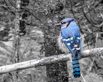 Bird Photography - Blue Jay Wall Decor, Blue Print, Selective Color - Fine Art Photo, Nature Picture, Wildlife -020