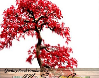 RED MAPLE Tree Seeds - A. rubrum - Excellent Japanese Bonsai - Full Sun To Part Shade - Zone 3 - 9