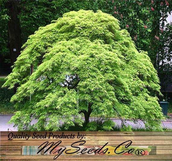 10 x Green Lace Leaf Japanese Maple ACER palmatum matsumurae