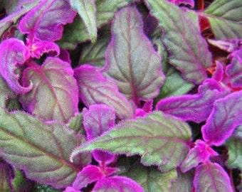 Gynura aurantiaca variegated Purple Velvet Plant