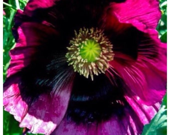 "Papaver Somniferum Opium Poppy ""Pepperbox"" (High alkaloid & rare) - 100 Seeds"