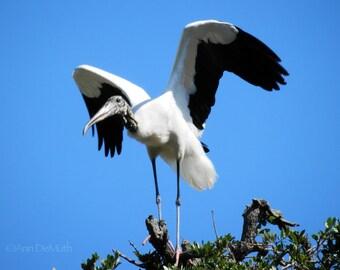 Bird Photography, Woodstork with Open Wings 295, St. Augustine, FL,  Fine Art Print, Home Decor, 5x7, 8x10, 11x14