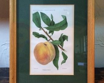 Framed Botanical Print - Robena Peach by D. G. Passmore circa 1893
