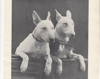 "1937 British Dog Print Two Bull Terriers On The Way To The Dog Show, 8""X 10.5"""
