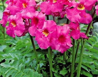 Rose Color Gloxinia Flower Seeds / Incarvillea / Perennial  25+
