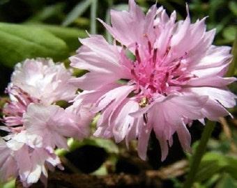 Pink Bachelor's Button Cornflower Flower Seeds / Annual   35+