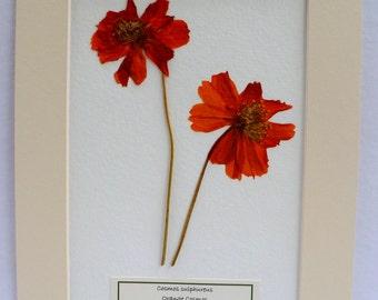 FREE SHIP  Real Pressed Flower Botanical Art Herbarium Specimen of Orange Cosmos Prematted 8x10