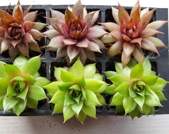 Sempervivum Succulent collection of 6 'Blood Tip' & 'Rubrum Bay'