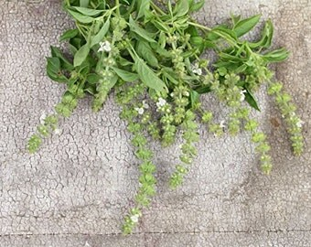 Thai Basil (Ocimum canum) 'Hairy Lemon' 40 Rare Heirloom Herb Seeds in a Glass Vial with Silica Beads & Organic Cotton for Long Term Storage