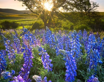 Spell Bound, columbia hills, washington, sunrise, lupine, flowers, wild flowers, columbia river gorge, oregon, pacific northwest, dalles,